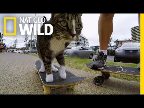 Skateboarding Cat Does Tricks   Kitten Impossible