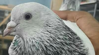 Farnce Pigeons zaidi bhai sale 03006329277.