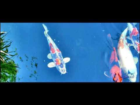 Japanese Koi fish pond design by Aquacci