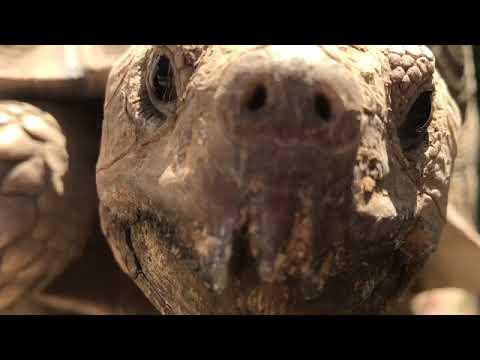 Rex the sulcata tortoise
