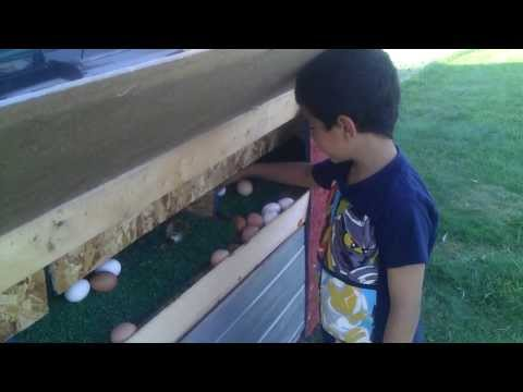 Collecting chicken eggs from the roll out nestboxs