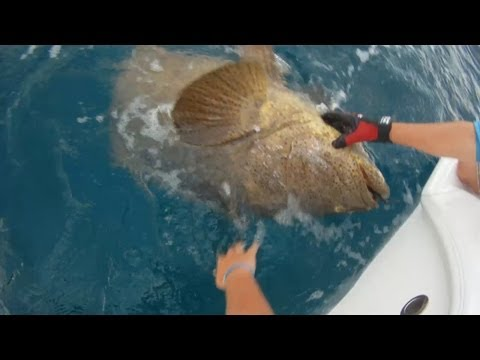 Goliath Grouper Wreck Fishing