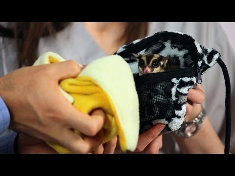 How to Deal with Sugar Glider Barking | Sugar Gliders