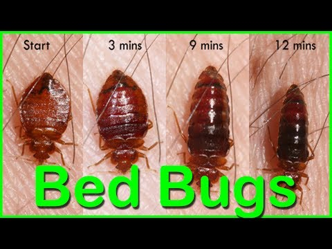 Bed Bugs : How To Kill Bed Bugs using Baking Soda - Bed Bugs How To Get Rid Of Them Home Remedies
