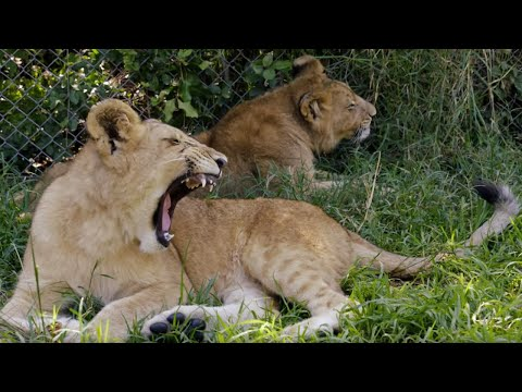 Lion cubs learn how to hunt ... with fake prey! | BBC Earth