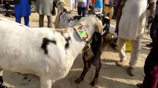 515 | BEST BAKRAY FOR GOAT FARMING FAISALABAD BAKRA MANDI
