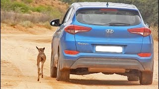 Wildebeest Calf Thinks this Car is Its Mother (Cute Ending)