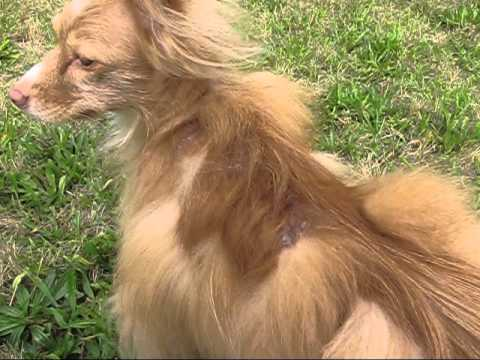 Pomeranian Hair Loss