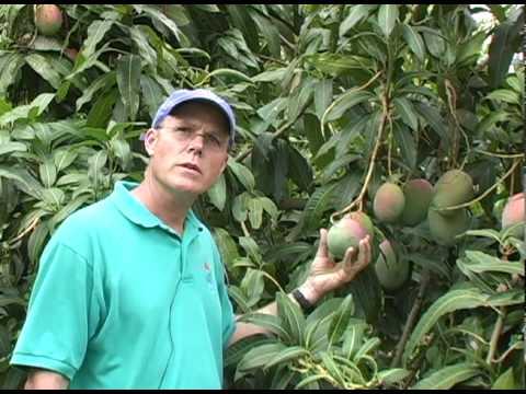 A08 'Keitt' mango tree and fruit description