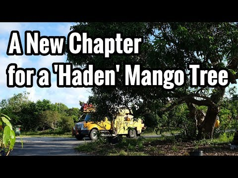 A New Chapter for One of Our 80-year-old 'Haden' Mango Trees