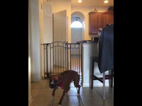 DOGS JUMPS OVER FENCE LIKE A BOSS