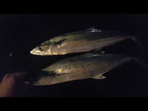 Spanish Mackerel! Juno pier pt 1