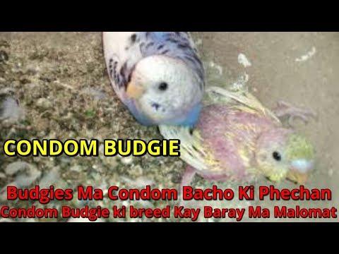 Budgies Ma Condom Bacho Ki Phechan | Condom Budgie Ki Breed Kay Baray Ma Malomat