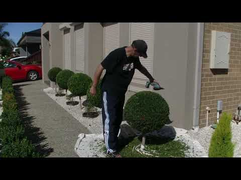 How To Trim Standard Lilly Pilly  - Time-lapse ...