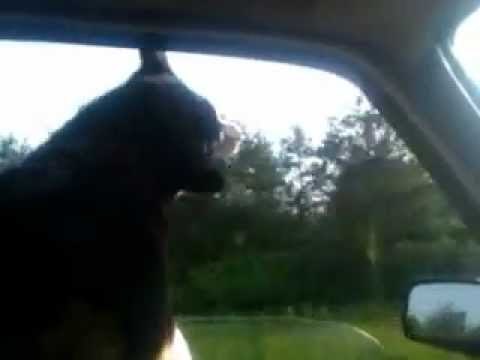 dog chasing passing cars from window