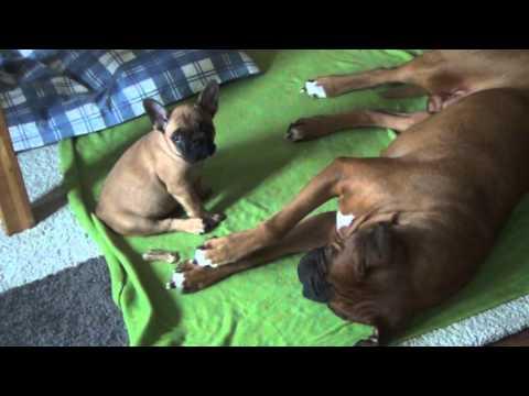 Boxer Ramses and French Bulldog Kurt