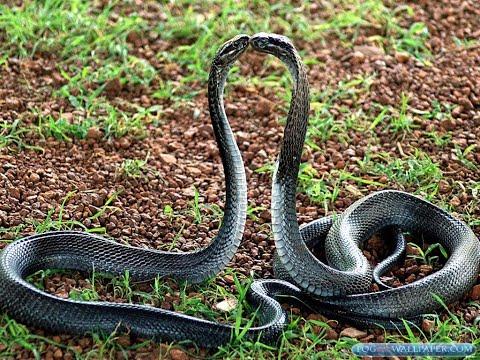 Xxx Mp4 Snake Sex In Nepal Latest Video 3gp Sex