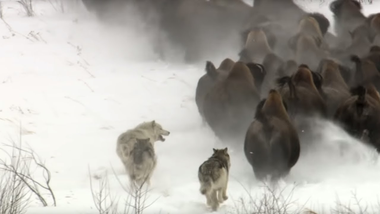 Best Wild Animal Chases   Top 5   BBC Earth