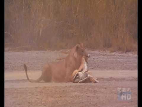 Lion hunts Tomsons gazelle