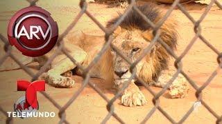 Animales de Zoo de Venezuela se mueren de hambre   Al Rojo Vivo   Telemundo
