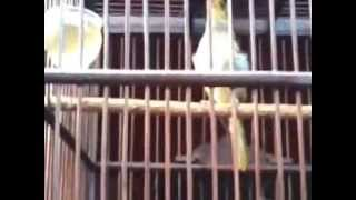 Cucak Kombo Jagoan Download Mp3 Mp4 3GP HD Video