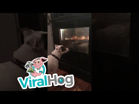 Dog Excited About Chicken Cooking in Oven || ViralHog