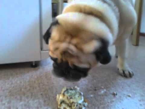 Guillaume eating his pug cupcake