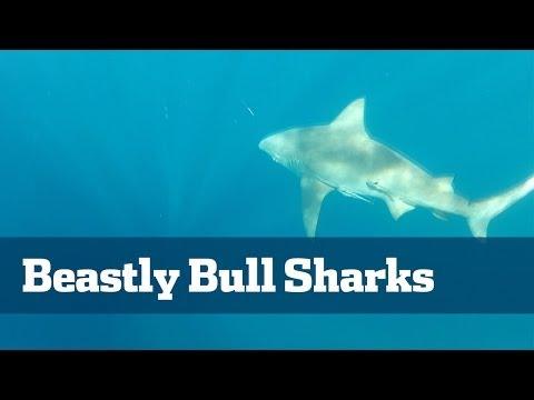 Bull Sharks; How To Catch Monster Bull Sharks - Florida Sport Fishing TV