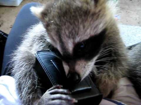 Cute baby raccoons play with camera case