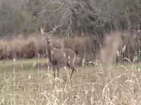 White-tailed buck rattle in 1