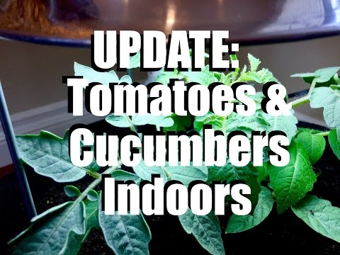 Growing Tomatoes and Cucumbers Indoors: UPDATE  #1 //  Growing Your Indoor Garden #7