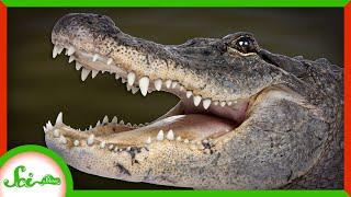The Secret of Regeneration in... Alligators