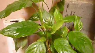 زراعة نبات رجل البط وورق الليمون المزهر من العقلة بطريقة مضمونة مية المية