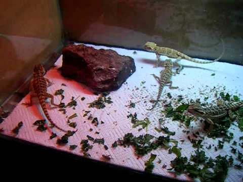 baby bearded dragons eating crickets