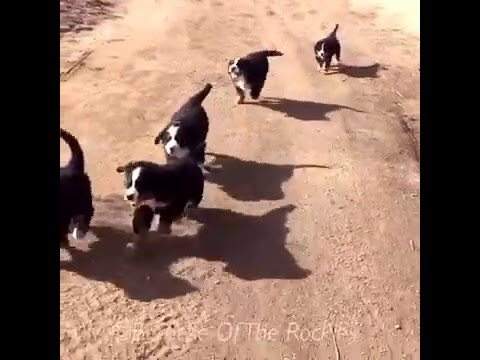 ♥ BERNESE MOUNTAIN DOG PUPPY STAMPEDE ♥ Bernese Of The Rockies
