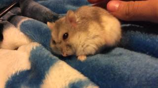 Is my hamster dying