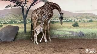 Baby Long Legs Explores The Indoor Giraffe Habitat