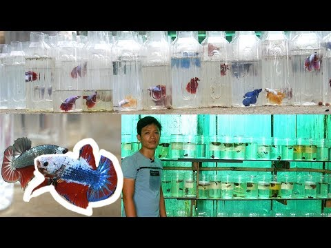 BETTA FISH ULTIMATE CARE TIPS from a Betta Farm Breeder. A Kyle Le Documentary
