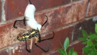 Download Zig Zag Spider vs Cow Killer Ant Video