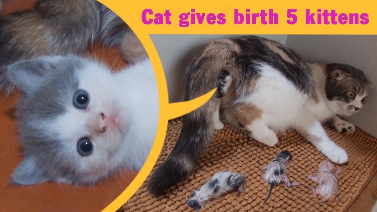 Cat Giving Birth: Cat Gives Birth To 5  Kittens - Part 1