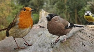 Birds Flying in Slow Motion - Forest Birds & Bird Sounds Video for People & Cats to Watch