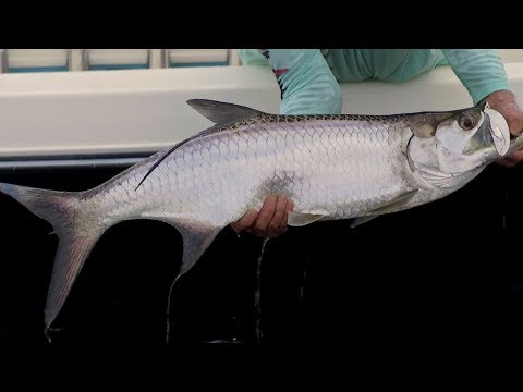 Canal Tarpon Fishing with DOA 2.75 Shrimp and Capt Mark Nichols