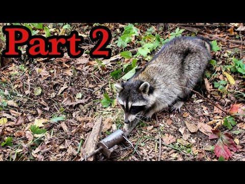 Raccoon Trapping 2017 : Sets and Catches Day 2