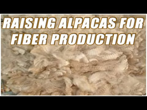 Raising Alpacas For Fiber Production