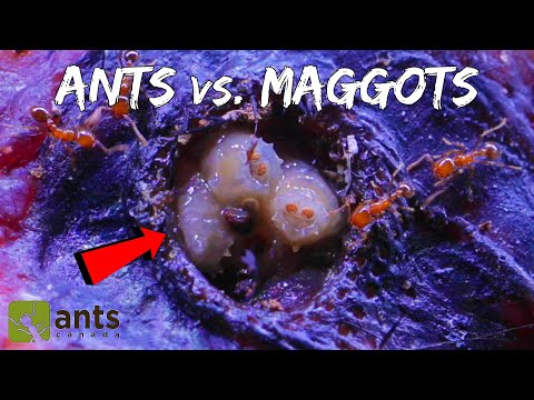 Xxx Mp4 Fire Ants Take On A Swarm Of Maggots WARNING Extremely Gross Footage Halloween Special Pt 1 3gp Sex