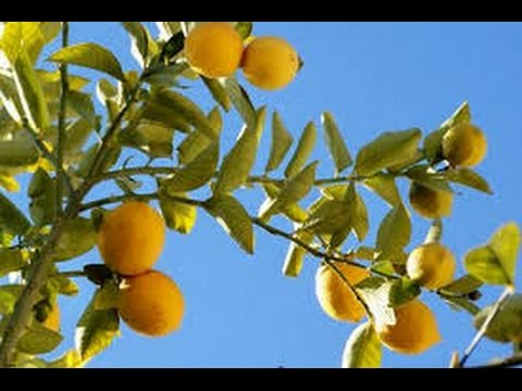 95 - How to grow lemon 🍋 tree from cutting (Hindi /Urdu) 24/7/16