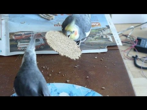 Cockatiels destroying a cork mat