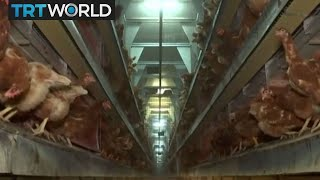 Egg Contamination: Toxic chemicals found in Dutch egg farm