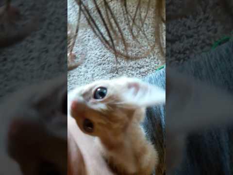 Kitten bites nipple