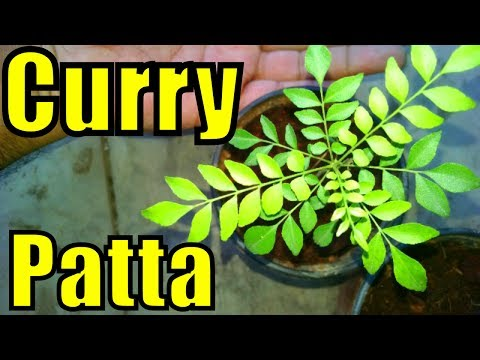 How to Grow Curry Patta From Cutting | Curry Leaves Plant |  Karri Tree | Part-1
